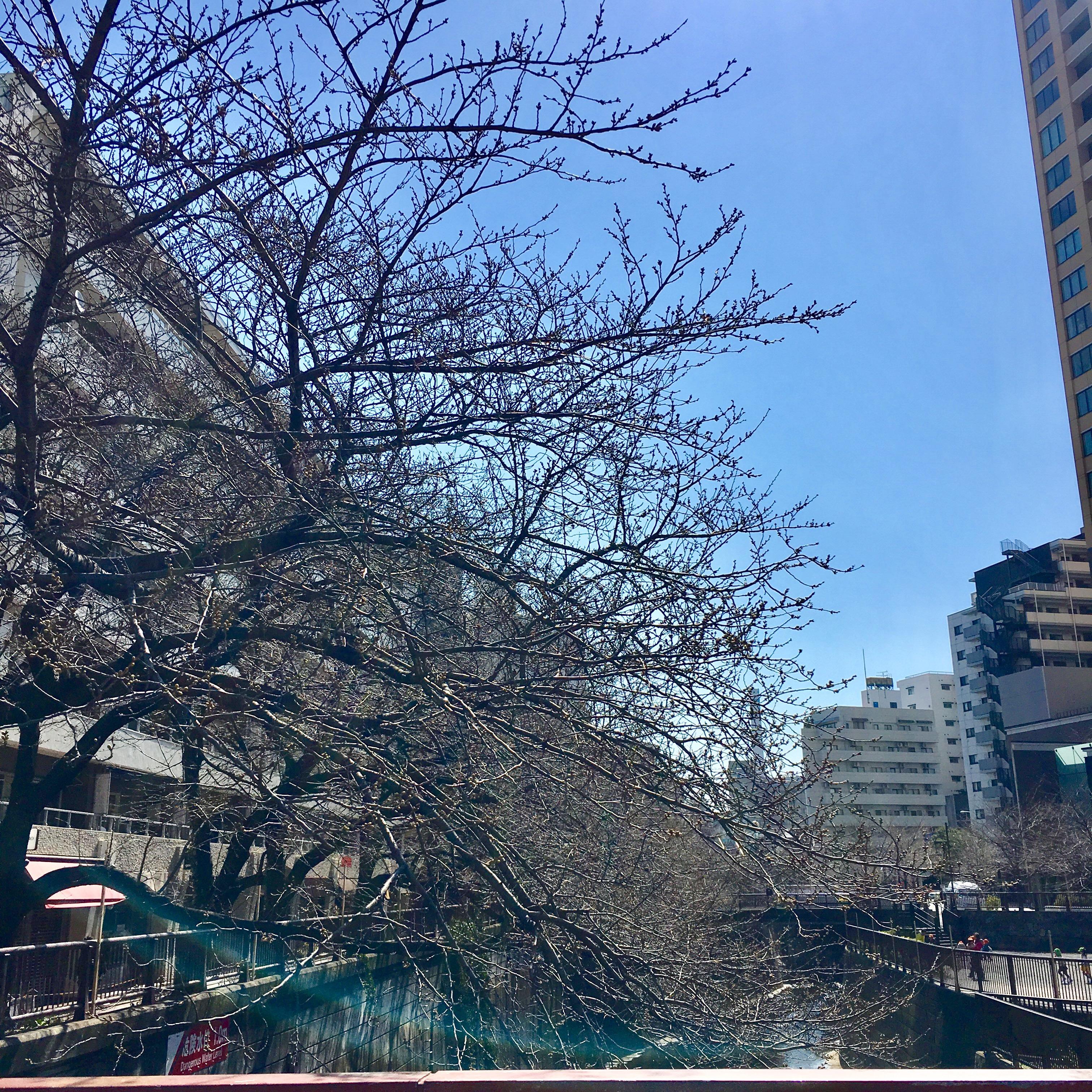 ☆中目黒 桜 ☆