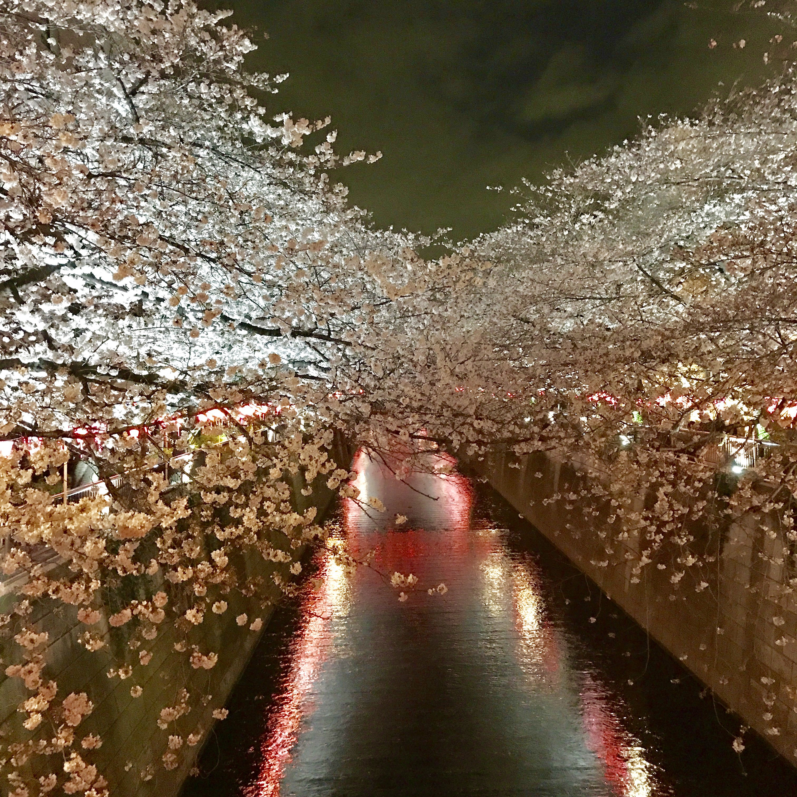 ☆中目黒 目黒川お花見☆
