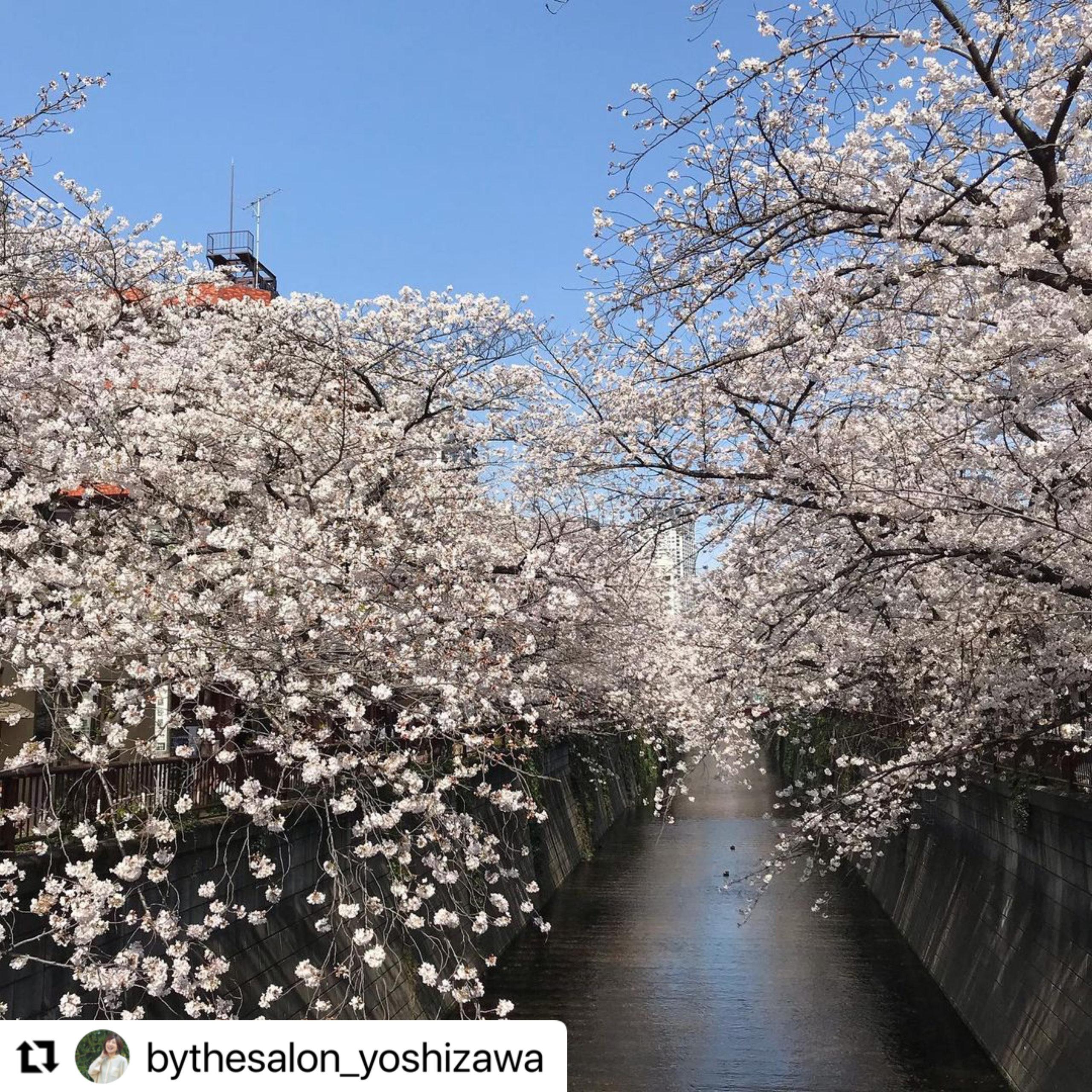 目黒川 桜 満開