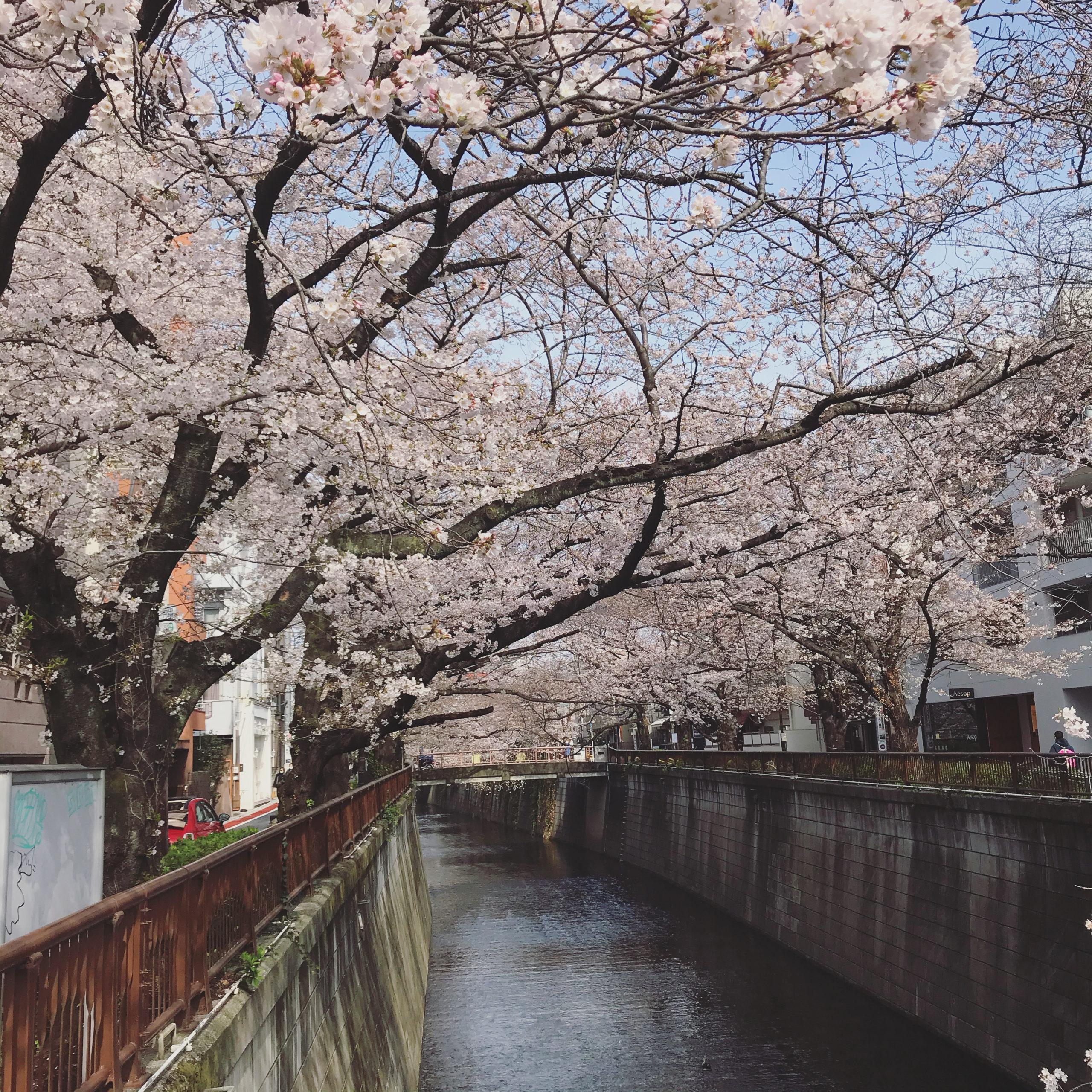 3/22 目黒川 桜